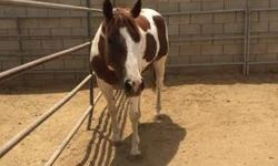 Classy Cita is a 12 year old registered APHA mare 14.1 hh approximately 900 lbs. Cita is a beautiful stocky mare, with a baby doll head, a real sweet heart, learns quickly, willing and has a good mind, works off your leg, stands quiet to be saddled, great