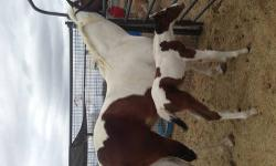 I have a Apha tobiano paint filly. Asking $1500 for her. She will be weaned from her mom at 6 months of age. She will have her shots and coggins, she will lead and load on trailer and be on daily wormer. Payments are excepted with a $250 non- refundable