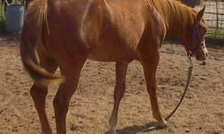 """""""Rosie"""" sorrel with roaning filly, gentle, loaded in trailer,2yrs in March, Almost 15 hds now,ready to start under saddle SOLD.. """"Dilly"""" sorrel overo yearling filly. well bred with APHA and AQHA champs in bloodline. $750 """"Siesta"""" sorrel yearling filly."""
