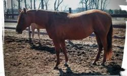 "Silky Version ""Silky"" 2000 Chestnut AQHA Mare Silky stands 16.2 Hands. She is very nicely put together and is very easy to get along with. She has points with AQHA in Hunter Under Saddle. She is a great mover and is sired by Good Version. She is a very"