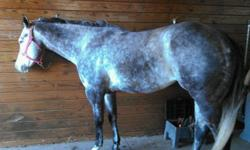 """My Miracle Grey """"Emma"""" 2010 Gray AQHA Mare Emma is a gorgeous mare and is a wonderful mover. She is a very sweet mare and is easy to ride. Has been shown, trail ridden, ridden on the roads. She gets along with other horses and does well in a stall. Ties,"""