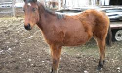 Two horses for sale: First, AQHA 2014 Bay Horse Colt by Double Watch Buck out of Dialed Triangle Dun Mare. Double Watch Buck goes back to Watch Joe Jack on three lines, who is by Two Eyed Jack. $1,100 OBO. Second horse, AQHA 2013 Dark Sorrel Mare, great