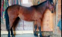 """Lopin On Faith """"Hera"""" 2013 Bay AQHA/PHBA(Palomino Bred) Filly 78% NFQHA """"Hera"""" is a very sweet filly who is handled on a daily basis. She is very friendly and super smart! Built very correct, nice straight legs, good mover. Granddaughter of the great"""