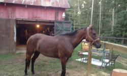 12 yr old 15.1 hands - Needs experienced rider/handler. Bought as my first horse but is a little to much for me to handle. Jersey is gorgous and has been under saddle with us where he did farely well. His ground manners need work. Wish I had the