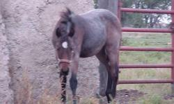 Liberty is weaned, been haltered, tied, & loads in the trailer. She is coggins tested and wormed. Her sire is a blue roan & dam is buckskin. Email for more pictures or questions. Call & leave a message and I will call you back.