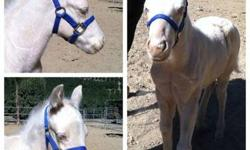 AQHA cremello stud colt. Foaled 9/12. Weaned & ready. AQHA application in hand. Stallion prospect. Foundation quarter horse bloodlines. 100% color producer! 3 white socks & blaze. Cutting, Reining, team sorting, cow horse prospect! Super mellow