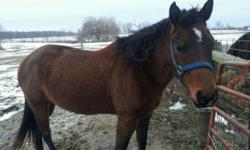 AQHA Dark Bay Mare. Zippo Pine Bar Breeding. Qualify for Pony or horse. Name is Liberty .Stands for farrier, ties, loads, rides. Needs tuned up.. would make GOoD 4-H horse, nice mover. Selling for $1450.00 cash will consider trades for NEWER camper,