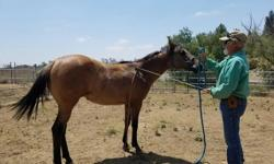 Shez Assured to Fly, foaled 4-2015. This is a gorgeous dun filly, with some of the top running bloodlines that ever hit a racetrack. She was bred as a Barrel horse prospect, but has the brains, athletic ability and mind to be good at most any other venue.