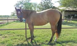 AQHA Dun mare LADY ZAN ZEE #X650317. Grandaughter of Hollywood Dun It. I bought her at the San Antonio Prospect Sale when she was 2. She was trained for reining at the time, but was sold because of being to tall. She is around 15.3hds, 1300lbs, and a size