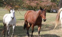 I have a 4yr old mare for sale. She had 30 days training last fall. Check out her pedigree at www.allbreedpedigree.com horses name is chocolatechipsspirit. She has awesome bloodlines. She is very sweet and 16 hands tall. She could be a broodmare or go any