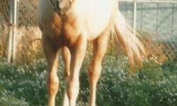 AQHA 2013 Palomino Filly. Peppy San and Two Eyed Jack Breeding. ( Lots Of Cow Cents) $900. 509-767-1539