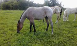 Five year old AQHA Quarter Horse mare. Sorrel with white blaze & socks. She is very pretty and has a great temperment. Has been riden several times and never bucked. 15 1/2 hands. Easy to catch & stands good for the farrier. We have raised her from four