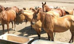 "Stallion Standing at Stud: ""Burnin King Sven"" -- AQHA / 97% NFQHA -- Foaling Date: 06/13/1995 -- black -- http://www.allbreedpedigree.com/burnin+king+sven ? Selling Price: $2500.00 --- 2014 Special -- ½ price stud fee: $250.00 + $10. a day mare care or"