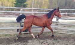 Aurora is 8 yrs old she's about 15 hands good legs lots of engery she needs a experience rider I'm asking 550 OBO will to trade for a taller horse to. Email me [email removed] This ad was posted with the eBay Classifieds mobile app.