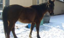 Mak is a 19 year old bay Arabian gelding. 15 Hands. He has been proffesionaly trained for western pleasure. He has no health problems, stands for farrier, loads and is affectionate. Have had him since he was foaled. He has been on trail. Has not been