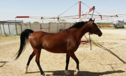 Candy is an Arabian-quarter horse cross mare that stands 15 hands. She rides trails and endurance. She is easy to load and catch. She stands for the farrier. Call Larry 936-661-2855 or Rachelle 936-661-1343 after 5 pm.