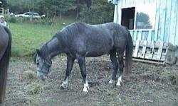Arabian - Sandy - Medium - Senior - Male - Horse ***** This horse is NOT at Spring Hill Horse Rescue***** Sandy is about 20 years old, he is registered as an Arabian and once I find his registration I will give out his date of birth etc. Sandy has been an