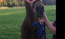 Arabian - Stanlee - Medium - Senior - Male - Horse *This horse is NOT at Spring Hill- Located in Hartland VT.* Stanlee is a 21 year old Arabian gelding who was rescued and re-habbed by his current owner. He is up-to-date on shots, coggins and de-worming.