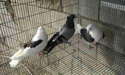 Armenian and Iranian Turkish pigeons for sale. Price is 50 and up depending on what you want. Please call for more info. 818-512-7973