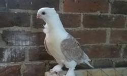 Ash Red Lace Satinette youngster late 2014 parents were bred by Sue at Mookee track loft, this is truly a show quality bird. Parents pics on breed 2 page .$40.00 shipping actual box $12 www.fancypigeonsplus.com