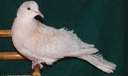Rescue Dove 11 of 14 is available for adoption here at Ramsey Ringnecks in Hephzibah Ga. for $15. Ash Cock Sired by Ash out of Violet 2015 hatch Surrendered 2/23/16 by Ed McDonald among 14 other birds. 11 of 14 would be happiest with a mate and minimal