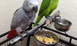 Re-homing my pet birds. Ashley is a female 4 year old friendly African grey congo and Sebastian is a friendly male yellow naped amazon. Both birds are extremely super talkative and pronounce words and phrases super clear just like humans and Ashley does