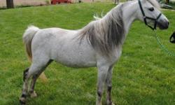"""BHR- Viscount is a 12 year old double registered American Shetland and American Miniature Horse 38"""" Grey Stallion. Count comes out of all Hall of Fame and National Champion sire, Grand Sire, and Great Grand Sire. He thows very refine, slender legs, long"""