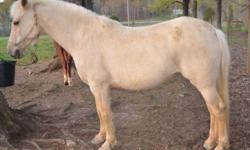 """Liquidation all med/large """"ponies"""". Arab mare with half-Welsh baby, Welsh mare with Welsh baby, small 3-day eventer PHR mare with half Welsh baby, small TB (14.25H), Spanish mustang (14.1H),etc., 2 year old part Arab endurance/trail pony/horse, yealing"""