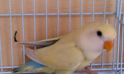 Young Australian Cinnamon Opaline for Sale. $80 Gender still not sure. Please contact by calling or texting.