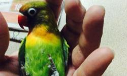 I started Crazy Parrot Aviary with the intention to breed high quality, affordable birds for people, and I have been doing just that for over ten years. However, in the past 4-5 years I have developed several health problems and have recently made the