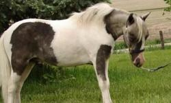 """Wiltz's Show Me Little Firecracker is an AMHA/ AMHR 28"""" grey dapple pinto stallion. Firecracker was successfully shown as a weanling and yearling with many Reserve Grand Champions to his credit only falling Second to his brother. Firecracker is not only"""