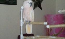 Awesome cockatoo for sale with his cage & toys. C is a moluccan cockatoo that is super friendly, gentle, and very loving. He is overall a quiet bird, he only squaks when he is excited to see you! He eats a blend of seed, fruits & veggies. He loves to take