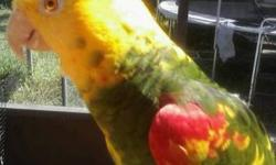 Sweet gorgeous hand tame Tres Marie double Yellow headed Amazon subspecies variation. He's very talkative and sweet. Comes with DNA certificate and health records. serious inquiries only please. Sorry no shipping, local sale only! And no pet stores or