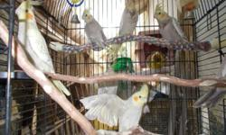 Have 7 Hand fed cockatiels, 3 months old, They are tame but not handle much. They need more time if you want them to sit on your finger or entertains for you.., Cinnamon grey $70, Cinnamon pearl $85 or buy all 7 Cockatiels for $455 or trade for tame
