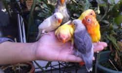 Mutation Babies Love birds. Lutino Fisher Love bird $120 Slaty or Clear Head Fisher Love bird $160 Two Lutino Peach Face Love birds $100 each All this lovebirds are 3.5 Months Old, Gender Is Unknown. They Come With No Cage, The White N Mauve Lovebirds Is