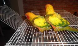 HI GONZALEZ PET STORE HAVE A VARIETY OF BABYS AVAILABLE ALL HANDS FEEDING AND READY TO GO TO A LOVE HOME BABIES SUN CONURES 250 each BABIES JANDAY CONURES 200 each BABIES COCKATIELS 45 each BABIES LOVEBIRDS 35 each AND MORE CONTACT ME ANY TIME 813 323