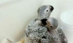 I have baby african grey please call or text me for more information