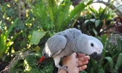 BABY AFRICAN GREY CONGO WITH BEAUTIFUL RED TAIL, 3 MONTHS OLD, HAND FED AND HAND RAISED, IT IS TAME AND STILL LIKES TO EAT OFF MY HAND SO ITS A GOOD TIME TO BOND TO PEOPLE...ASKING $1250, PRICE IS FIRM. PLEASE LEAVE INFO IF INTERESTED.