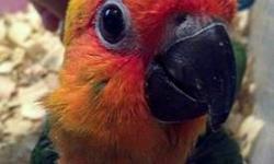 baby african grey parrot congo