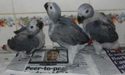 CHRISTMAS SPECIAL !! Baby African Greys sooooooooo cute talking TAKE HOME FOR XMASS !! The best talking birds in the World !! Healthy friendly sweet babies loves everyone, will go to anyone, raised in our home with our family, we have the parents. We have