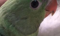 I have one baby Alexandrian Ringneck. these are twice as big as regular Ringnecks. they are generally friendlier and talk better. he is now 10 weeks old. eating formula and starting to nibble on seeds. asking $550 for him. I believe he's a male. starting