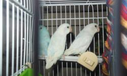 I HAVE BABY COCKATIELS GRAY AND WHITE I HAVE GRAY/ YELLOW WITH ORANGE ON THERE FACE.. I HAVE LOVEBIRDS THEY ARE SLATE COLOR .... I ALLSO HAVE PARROTLETS, THEY ARE BLUE/ WITH WHITE .. THEY ARE STILL YOUNG TO TRAIN THEY ARE NICE TO HEAR IN THE MORNING CALLS