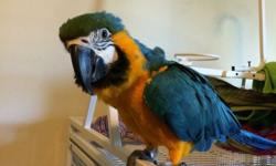 Blue and gold macaw still learning how to talk. New apartment owner doesnt allow pets. Need to find a new owner. Please contact for more details Comes with cage