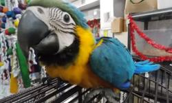 10WEEKS OLD HAND FEEDING BABY BLUE AND GOLD MACAWS STILL ON FORMULA TWICE A DAY FOR THE PERFECT BONDING BEAUTIFUL BIG BABIES JUST SUPER SUPER SWEET...PERFECT TIMING FOR THE PERFECT HOLIDAY GIFT CALL TODAY 954-632-0863 OPEN EVERYDAY INCLUDING CHRISTMAS EVE