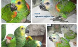 i am in the process of selling 2 baby blue fronted amazon. each baby is $900. these are excellent talking babies. if you are interested you can contact me: call/text 347-231-3031 http://tropicalbirdies.webs.com/ like us on facebook