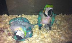We have Blue & Gold Baby Macaws for sale. We take payments plans from all of our customers who want to own a sweet baby bird from us. We ask for $200.00 down on 1 of these babies. Contact us for more information. ~Carolyn~