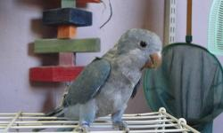 Baby Blue Quaker, Hand fed, tame, hatch date 10-6-2012, water bottle trained, Sorry NO SHIPPING, asking $275.00 cash.