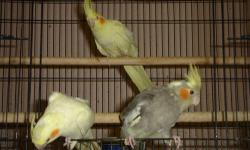 I have just three baby Cockatiels remaining: 2 Lutinos and 1 Pied! All 3 are hand-tamed and extremely sweet! Perfect for Christmas! Your choice, $65 each. I also have cages available for $45. Call Dania @ 623-936-5488 Thanks for looking!