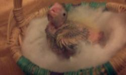 We Have three beautiful baby cockatiels about two weeks old will be ready to start handfeeding in a week or ready for a new home before christmas ... if you would like to purchase one to hand feed yourself or would like to reserve a baby please email me
