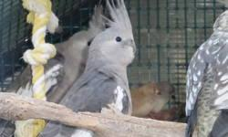 I have several baby cockatiels for sale. I am asking $45.00 ea. I have Pearlies, White faced. If interested contact Steve 619 548-8358
